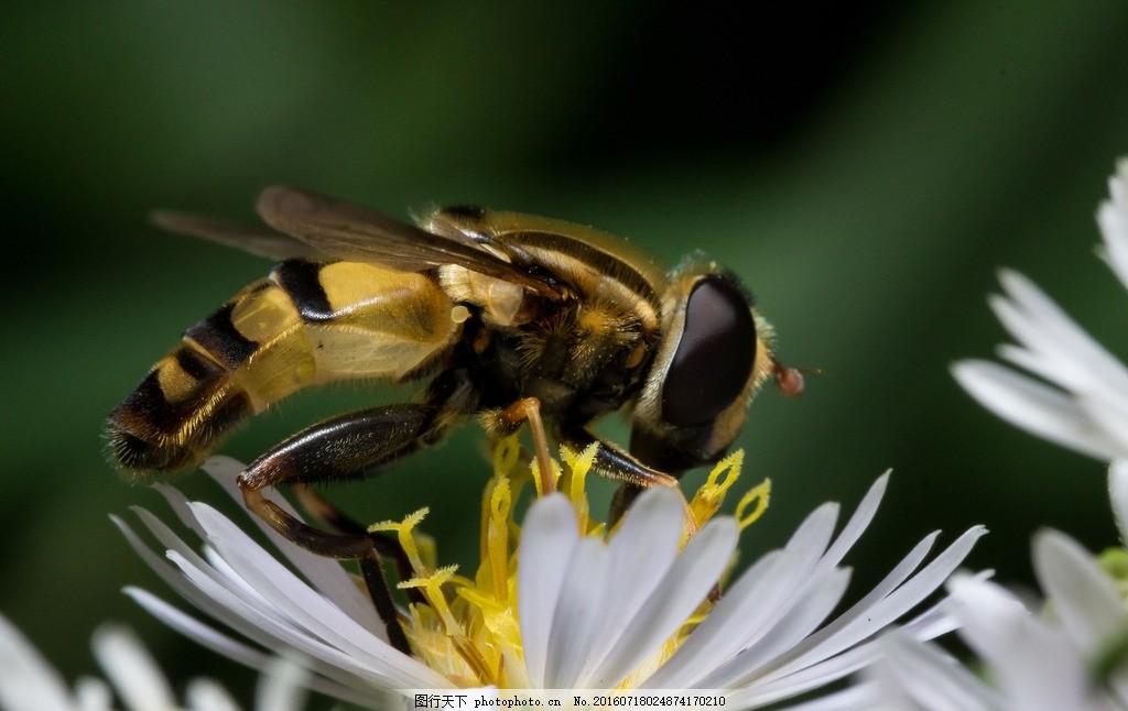 唯美 可爱 动物 昆虫 虫类 蜜蜂 雄蜂 摄影 生物世界 昆虫 300dpi jpg