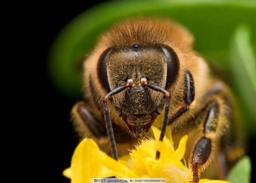 唯美 可爱 动物 昆虫 虫类 蜜蜂 工蜂 摄影 生物世界 昆虫 300dpi jpg