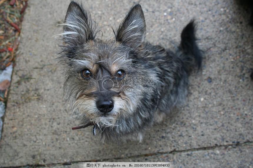 小猎犬 狗 宠物 动物 小狗 可爱 品种 有趣的狗 小 狗宝宝 地面 眼睛