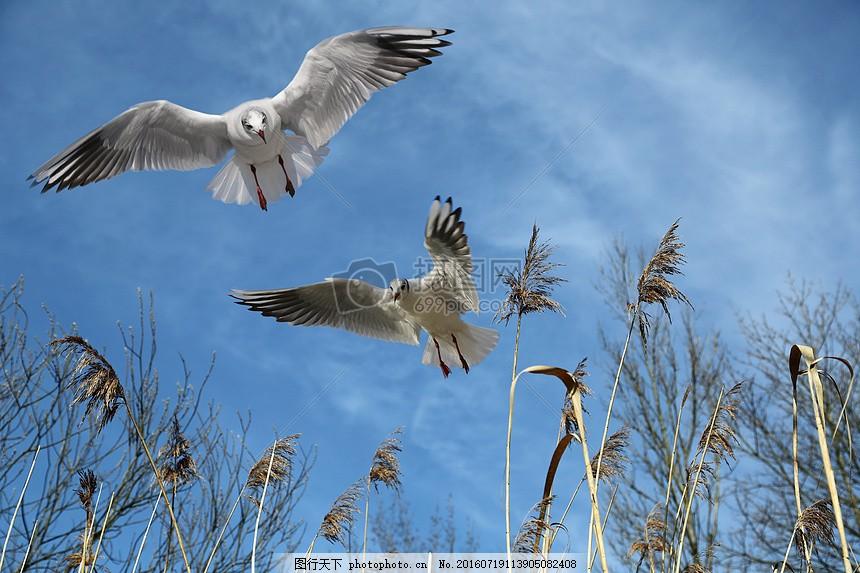 天空中飞翔的海鸥 鸟类 动物 芦苇 植物 红色
