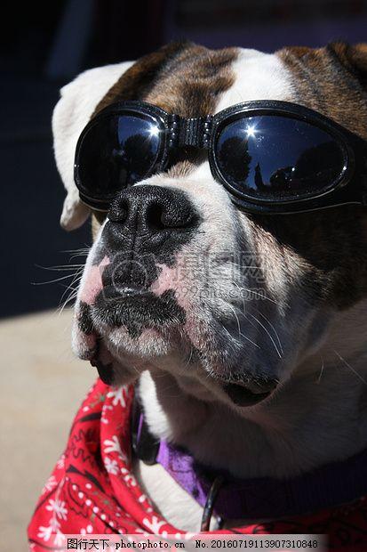戴眼镜的小狗 牛头犬 斗牛犬 动物 宠物 风镜 红色