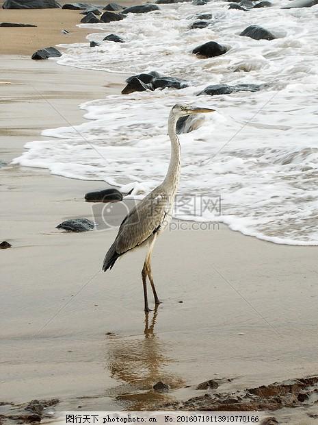 湖面站立的丹顶鹤