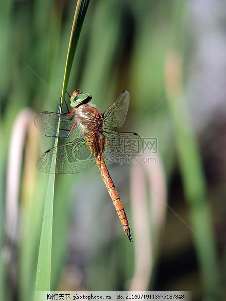 蜻蜓 昆虫 自然 花园 特写 动物 橙色的蜻蜓     红色 jpg