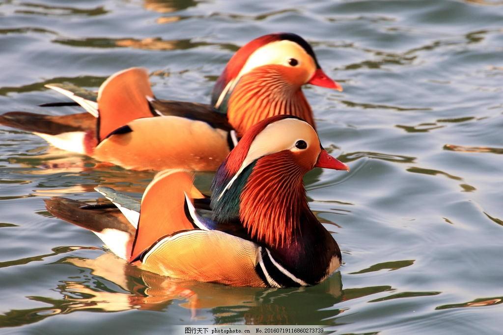 可爱河里鸳鸯 可爱河里鸳鸯高清图片下载 河面 小河 动物 小动物