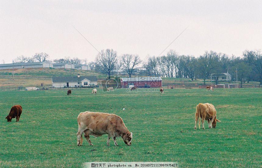 草原上吃草的牛 草地 房屋 天空 树木 动物 绿草 红色