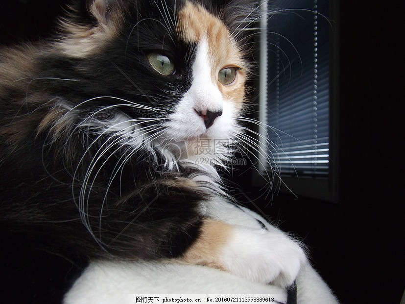 基蒂 长 头发 缅因州 哺乳动物 宠物 侧面 猫咪 胡须 眼睛 鼻子 嘴巴