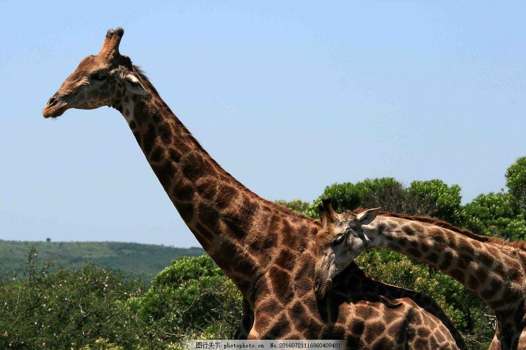 动物园长颈鹿图片