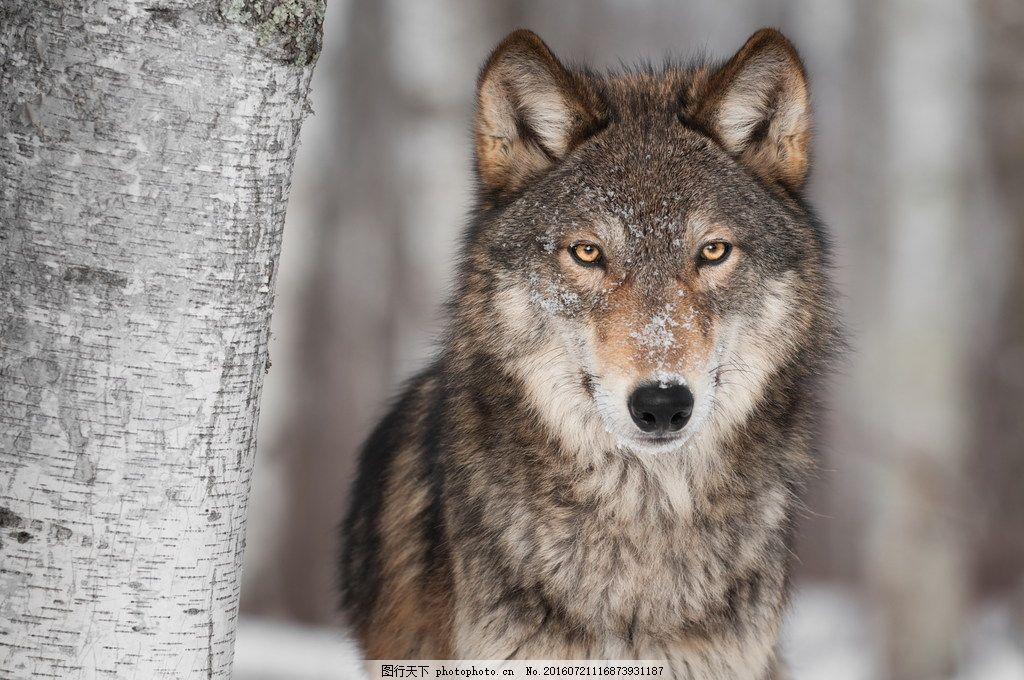 雪狼 树干 雪地 野生动物