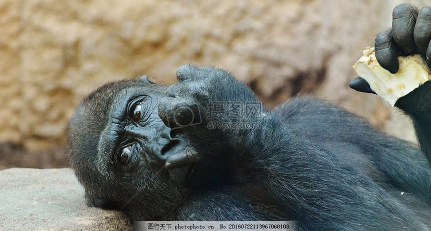 躺着吃东西的大猩猩 猴子 大猩猩 吃 动物园 动物 野生动物 黑色 趣味