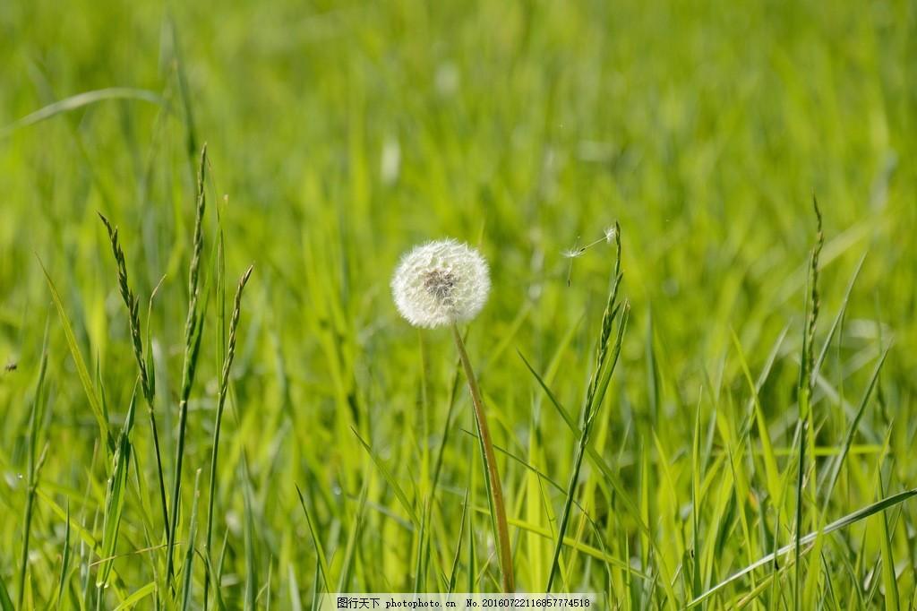 绿色蒲公英风景图片