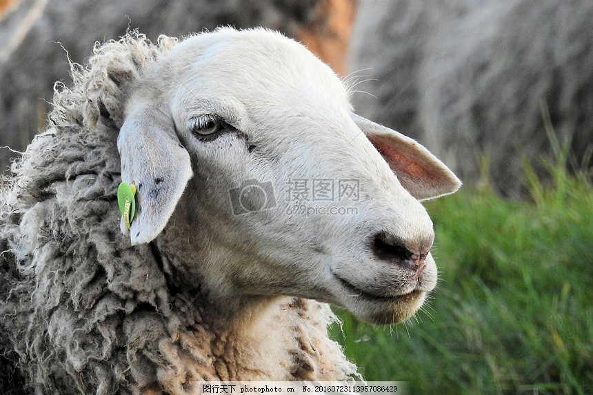 发呆中的小羊 牧场 草地 家畜 发呆 耳朵 眼睛 鼻子 困倦     红色