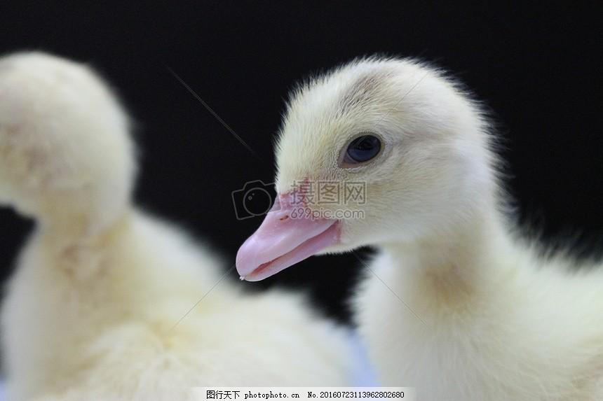 呆萌的黄色小鸭