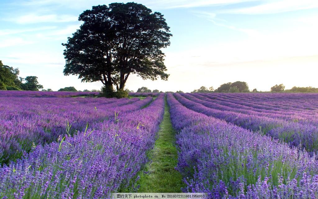 美丽的薰衣草花海 高清美丽的薰衣草花海图片素材下载 花园 风景