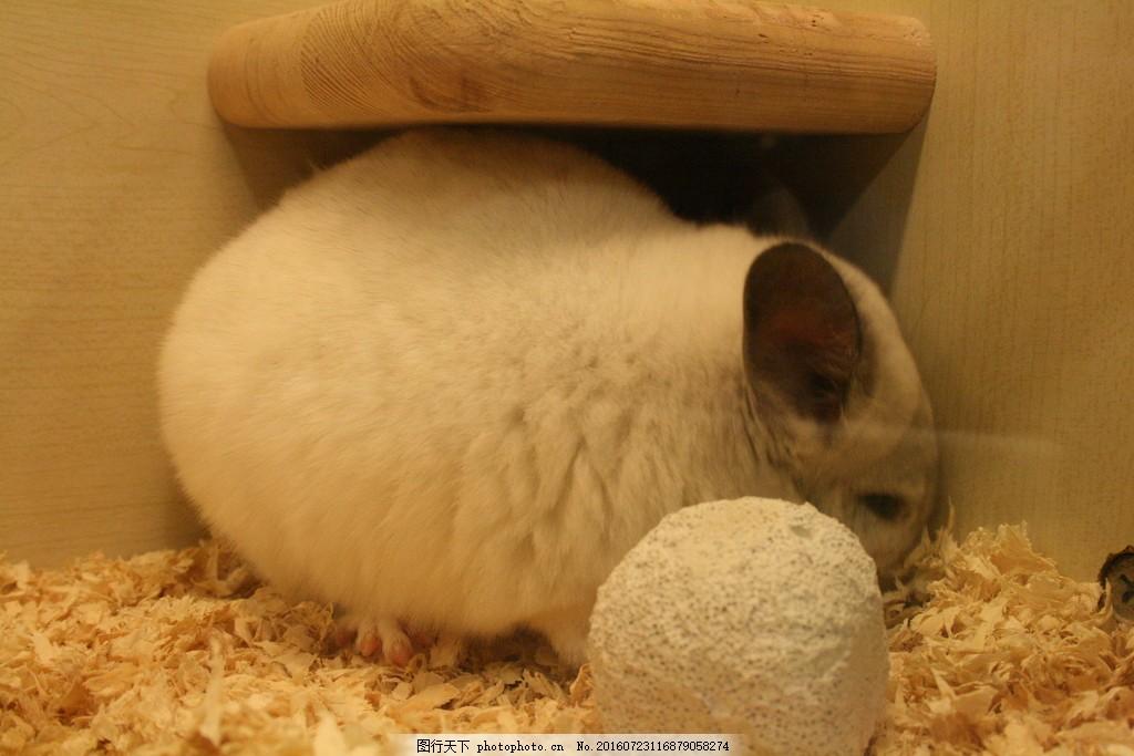 纯白龙猫 龙猫 萌鼠 萌宠 宠物 可爱动物