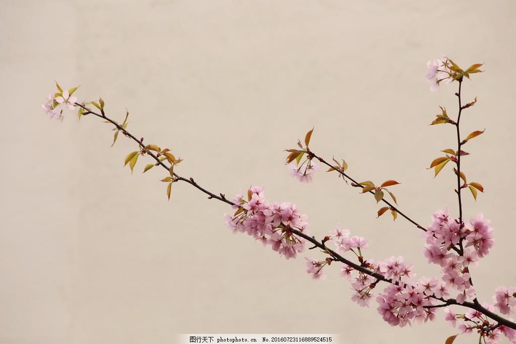 古风桃花素材 古风桃花 桃花素材 唯美桃花 粉色桃花 粉色花朵