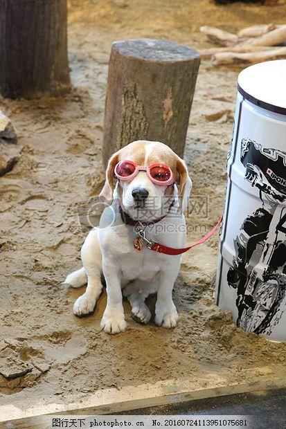 戴眼镜的小狗 动物 规格 白色 木墩 蹲着 红色