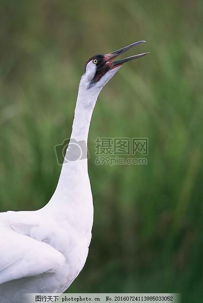 阳光下的白鹤 天鹤座 头鸟 动物 动物群羽毛 黑色 白色 绿色
