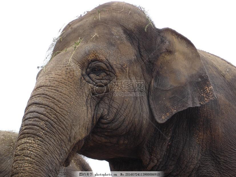 大象头部的特写 动物 厚皮动物 非洲 地点 动物园 眼镜 无望