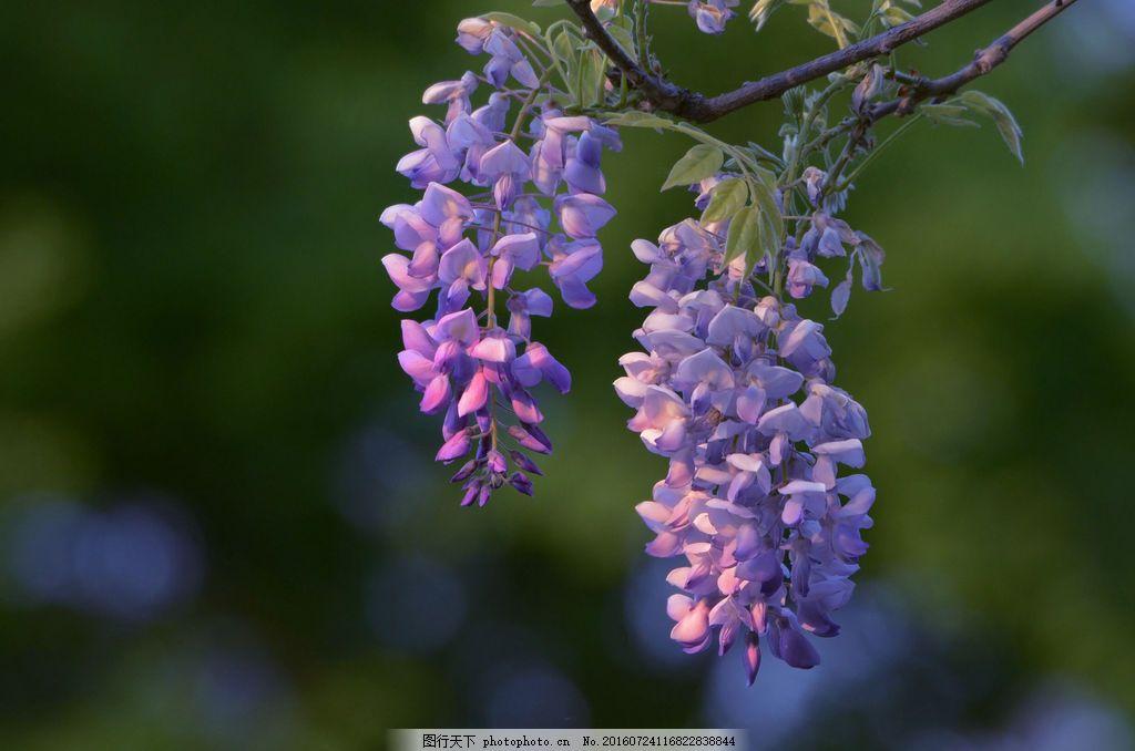 唯美紫藤花图片