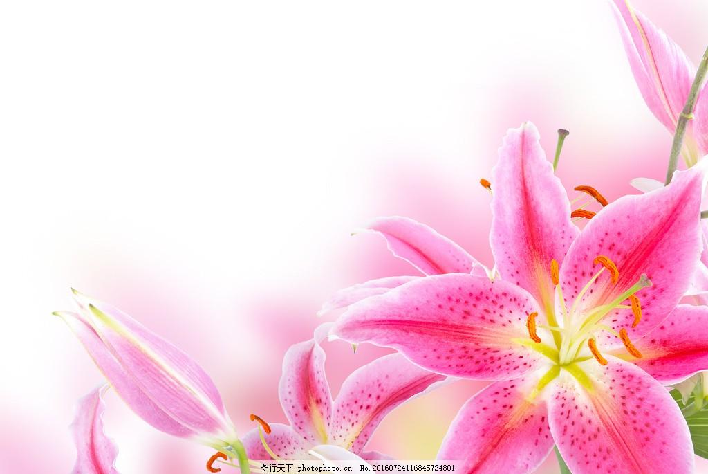 高清唯美粉色百合花图片下载 鲜花 粉色 花卉 花朵 花海