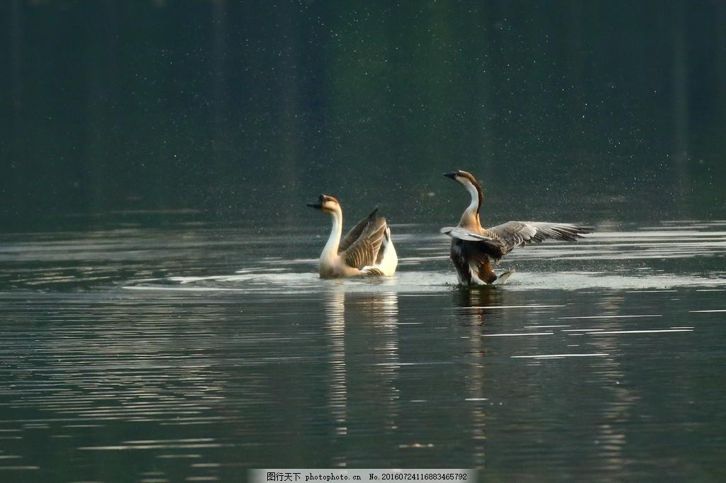 水中鹅 水中鹅高清图片素材下载 河流 湖泊 湖面 灰鹅 动物