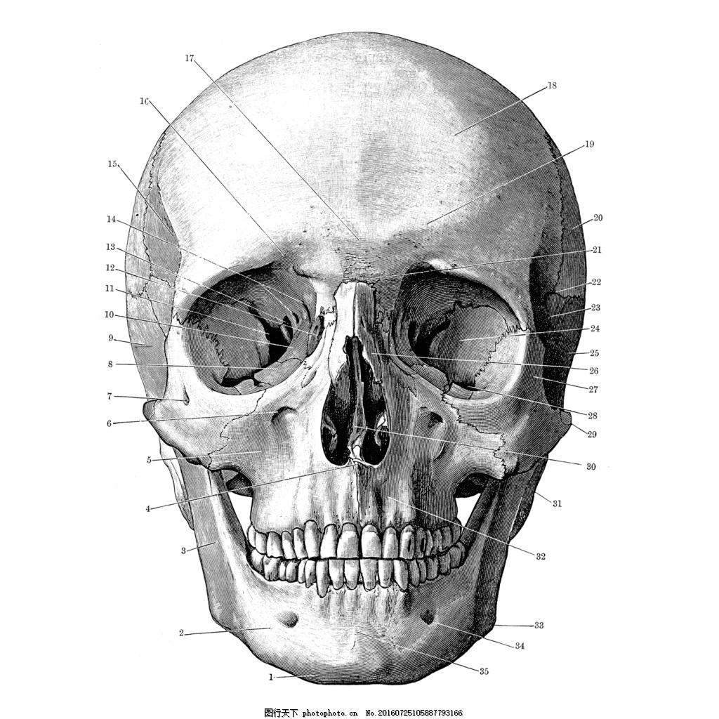 结构插图 t恤图案 骷颅头 人体骨骼 头骨 鬼头 服装图案 位图 素描