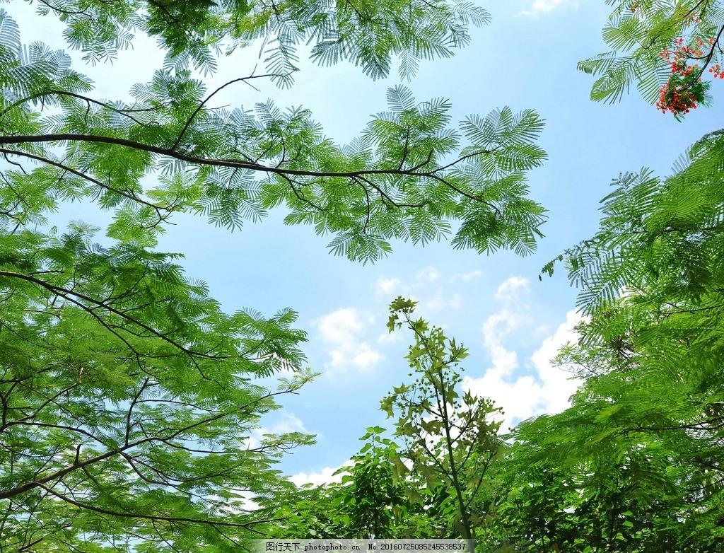 绿叶 蓝天白云 树 南洋楹 蓝天白云树 摄影 自然景观 自然风景