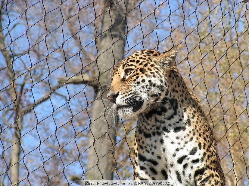 动物园里的豹子 猫科 爪子 铁栅栏 金属 毛绒 红色