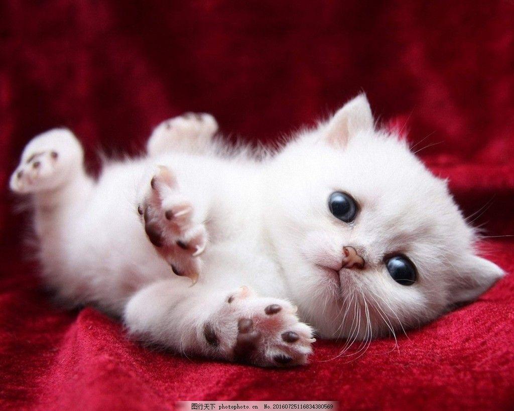 高清可爱小猫图片下载 可爱 萌宠 猫咪 迷你 白色