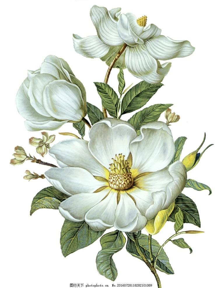 手绘花卉 木兰花 国画 工笔画 白色 文化艺术 绘画书法