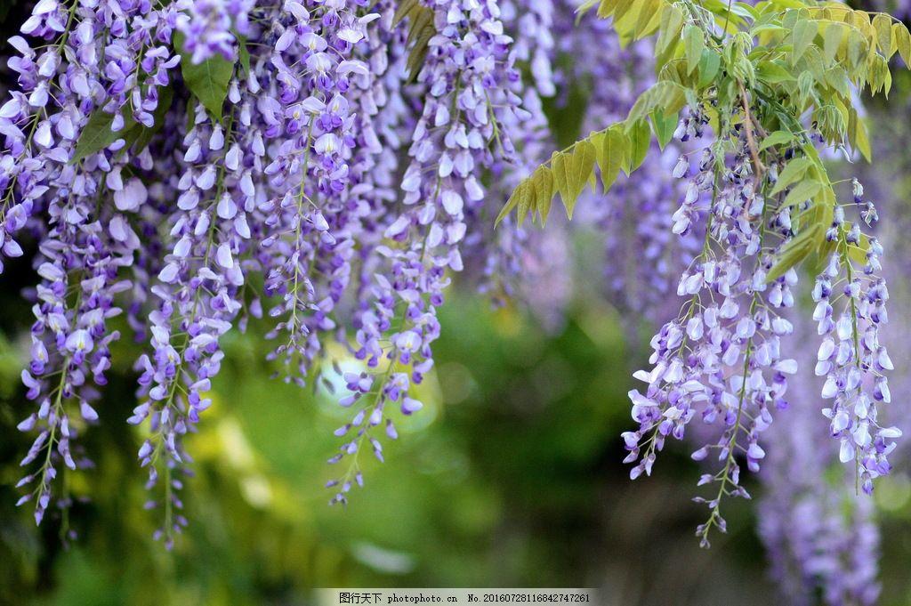 唯美紫藤萝花图片