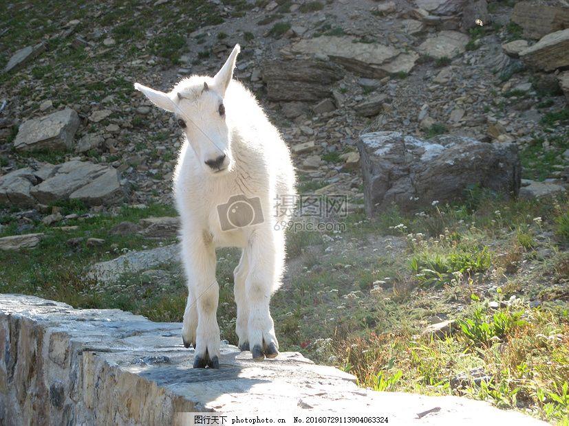 白颜色的小羊 小羊 白色 耳朵 站着     红色 jpg