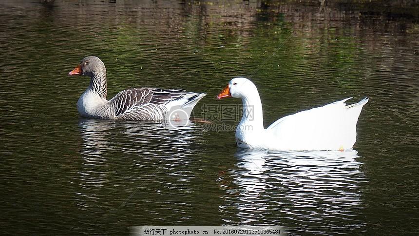 湖面上的图卢兹鹅 水禽 羽毛 动物 湖泊 平静 悠闲 生活 红色