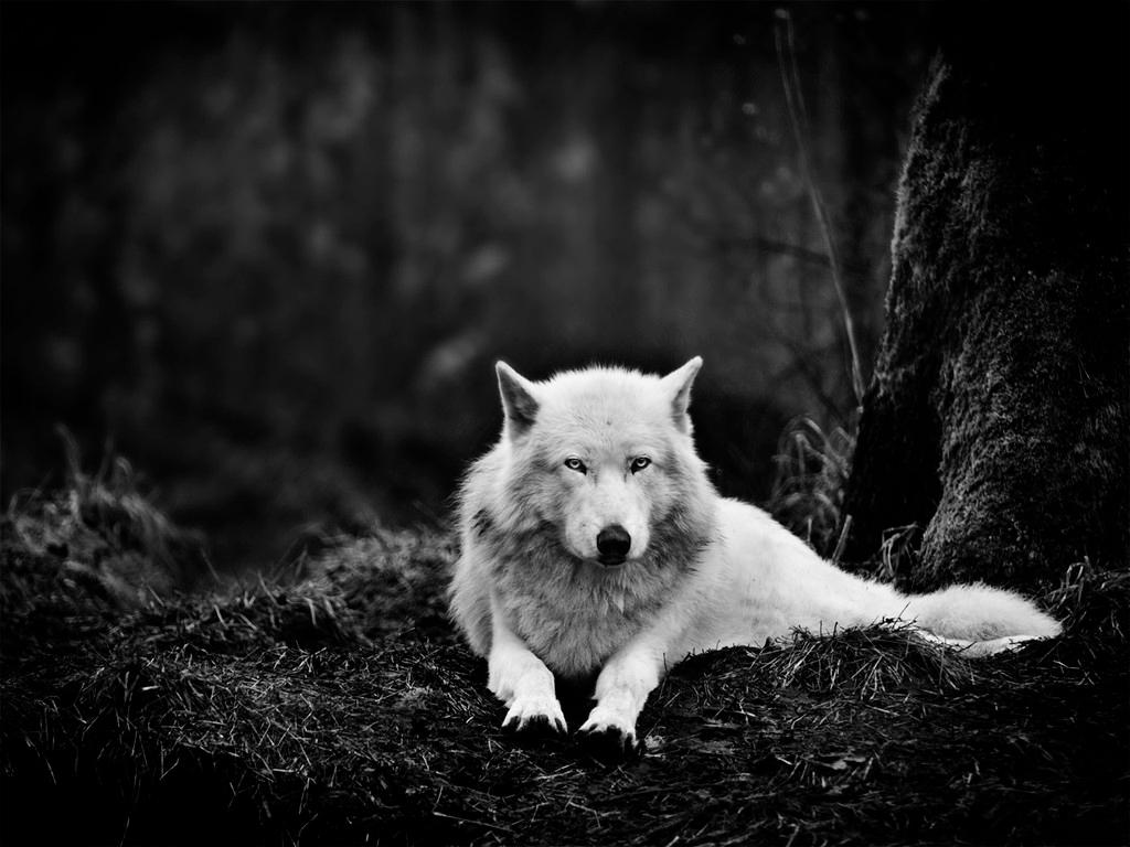 野生白狼 野生白狼高清图片下载 黑白 森林 动物 野兽