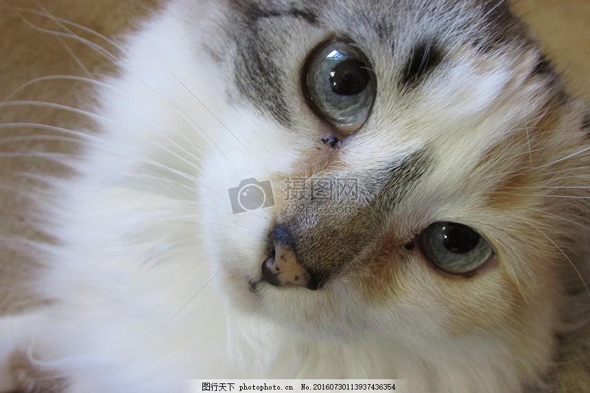 俯视下的猫头 猫 脸 动物 波斯语 白 可爱 俯视 白色 眼睛     红色