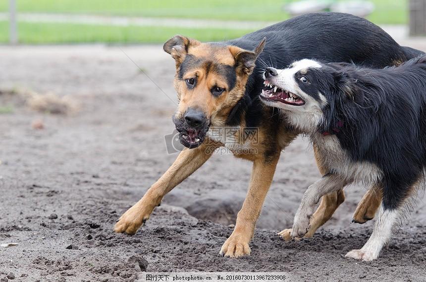 两个可爱的小狗 特写 玩耍 奔跑     红色 jpg