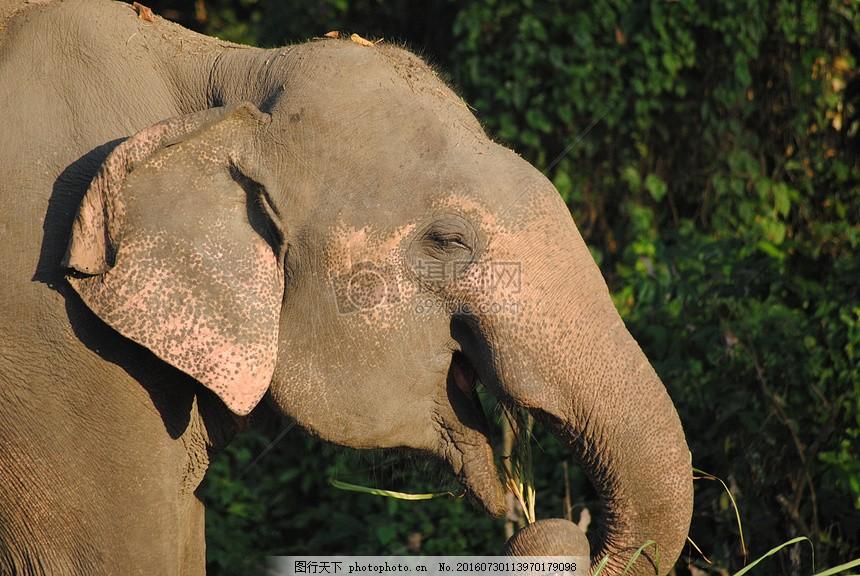 树林中的大象侧脸 森林 侧面 头部 草堆 特写 拍摄 红色