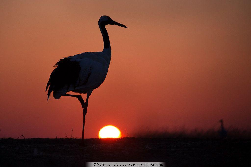 设计图库 高清素材 动植物  丹顶鹤高清图片素材下载 黄昏 日落 剪影