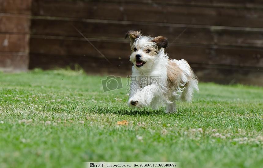 奔跑中的小狗 奔跑 毛发 年幼 可爱 活力     红色 jpg