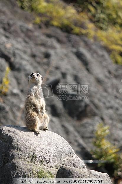 山间石头上的小动物 长崎生物园 动物思维 动物园 悲伤山间 站立