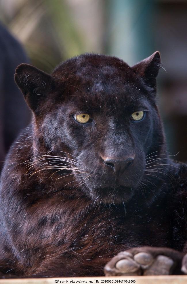 豹 黑豹 动物 豹子 猛兽 豹纹 猎豹 猛禽 摄影 生物世界 野生动物 72