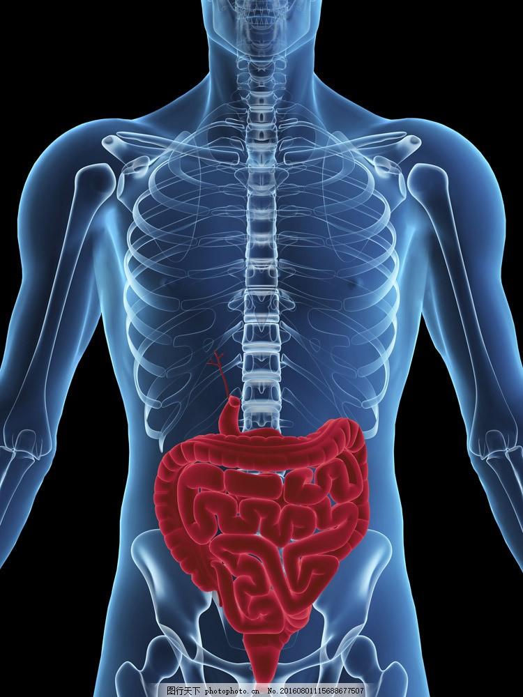 人体骨骼与肠胃 人体骨骼与肠胃图片素材 人体器官 肠胃人 骨骼结构