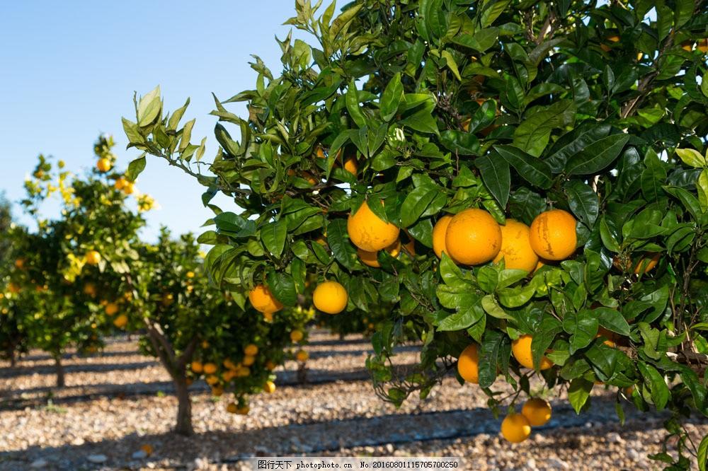 树上的橙子图片素材 果树 橙子 水果 树枝 叶子 蔬菜图片 餐饮美食