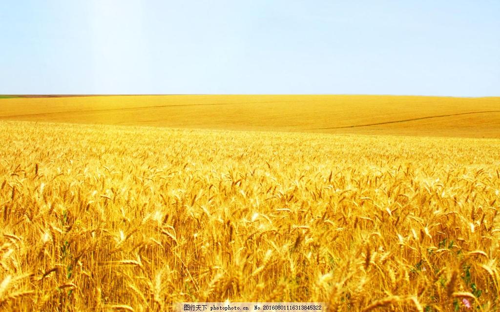 金色麦田风景图片