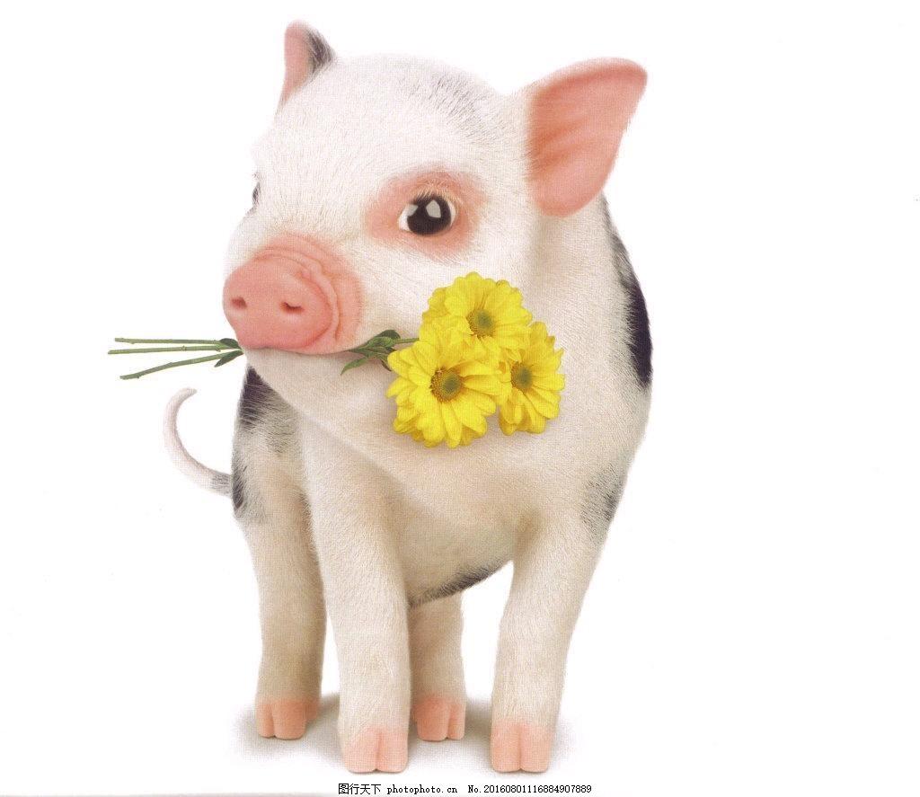 迷你宠物猪高清图片下载,小猪 可爱 萌猪 萌宠 动物