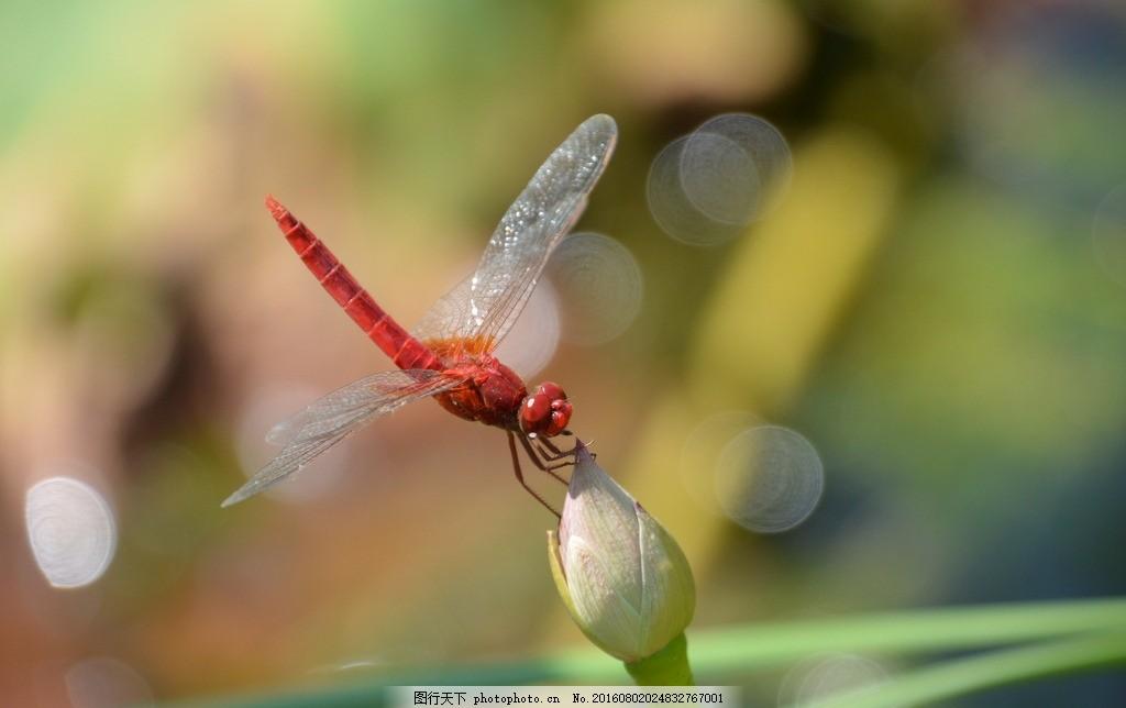 荷塘红蜻蜓 荷叶 草叶 荷花 虫子 节肢动物 飞虫 动物世界 摄影
