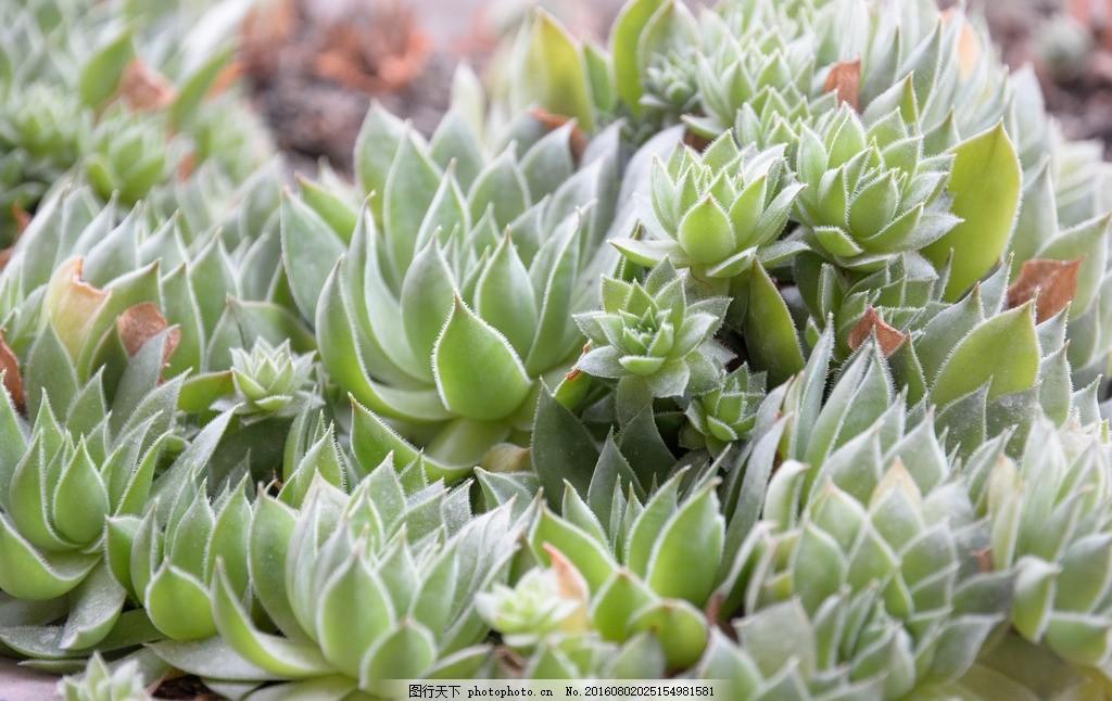 植物 多肉植物 绿色植物 摄影图 盆栽植物 摄影 摄影 生物世界 花草