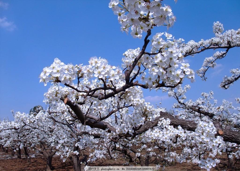 梨园 梨树 梨花 白花 蓝天 摄影 生物世界 花草 72dpi jpg