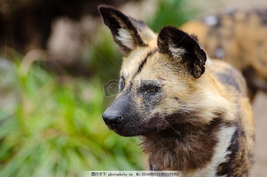 非洲野狗 红腹锦鸡森林狼 哺乳动物 食肉兽 犬科家族 大耳圆 肉食