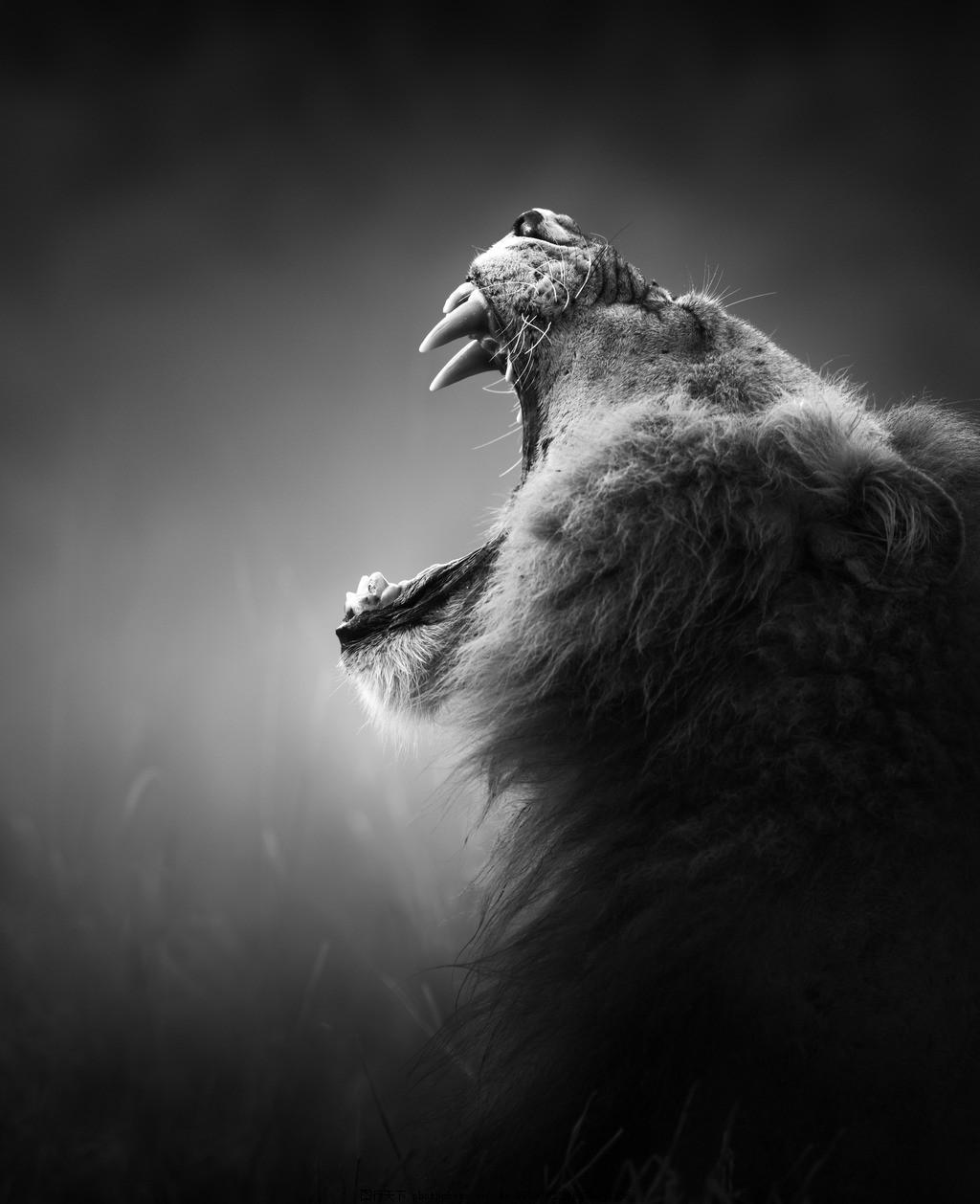 狮子 仰天长啸 黑白 嘶吼 野生 动物